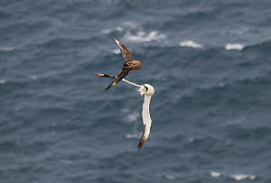 Great skua (Stercorarius skua) flying up behind to  attack the Gannet (Morus basanus) and try to force it, in mid-air, to regurgitate fish. This new, adaptive behavior has only been noted in the last...  -  Andrew Parkinson