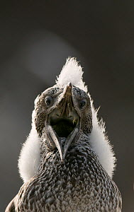 Gannet (Morus bassanus) chick with fluffy with mouth open. Shetland Islands, Scotland, UK, August. - Andrew Parkinson