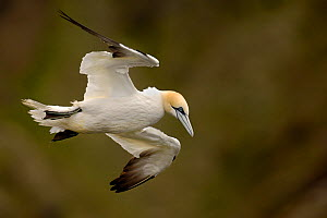 Gannet (Morus bassanus) adult flying in strong updraft near the top of some cliffs. Shetland Islands, Scotland, UK, July.  -  Andrew Parkinson