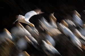 Gannet (Morus bassanus) adult flying low over part of the gannetry, blurred movement, Shetland Islands, Scotland, UK  -  Andrew Parkinson