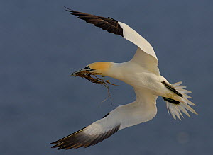 Gannet (Morus bassanus) returning to its colony with some nesting material. Saltee Islands, Republic of Ireland, May.  -  Andrew Parkinson