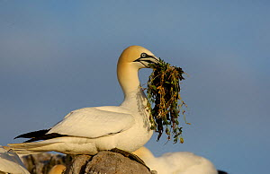 Gannet (Morus bassanus) with a beak full of nesting material that it has taken from a nearby nest. Saltee Islands, Republic of Ireland, May.  -  Andrew Parkinson
