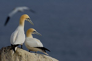 Gannet (Morus bassanus) breeding pair sit together on rock. Saltee Islands, Republic of Ireland, May.  -  Andrew Parkinson