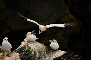 Gannet (Morus bassanus) taking off in rain shower. Shetland Islands, Scotland, UK, June.  -  Andrew Parkinson