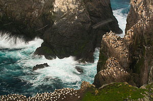 Gannet (Morus bassanus) colony on cliffs during storm, Shetland Islands, Scotland, UK, November  -  Andrew Parkinson