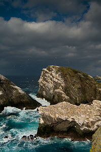 Storm clouds gather ominously behind Hermaness gannet (Morus bassanus) colony. Shetland Islands, Scotland, UK,  September.  -  Andrew Parkinson