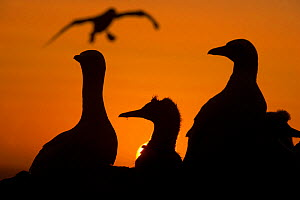 Gannet (Morus bassanus) adults and a youngster silhouetted against an orange red sky as another adult prepares to land. Shetland Islands, Scotland, UK. September - Andrew Parkinson