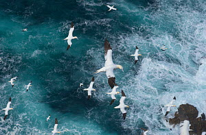 Northern gannets (Morus bassanus) in flight in  Force 8 gales above raging seas. Shetland Islands, Scotland, UK, September.  -  Andrew Parkinson