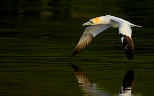 Gannet (Morus bassanus) flying low over water, Shetland Islands, Scotland, UK, July  -  Andrew Parkinson
