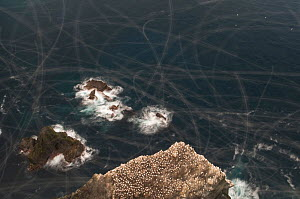 Gannet (Morus bassanus) colony, cliff top view showing the trails that gannets leave during a 2 second exposure. Shetland Islands, Scotland, UK, September  -  Andrew Parkinson