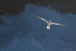 Gannet (Morus bassanu) adult in flight against stormy seas. Shetland Islands, Scotland, UK, September. - Andrew Parkinson