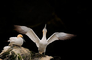 Gannet (Morus bassanus) adult stretching its wings. Shetland Islands, Scotland, UK, September. - Andrew Parkinson
