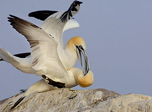 Gannet (Morus bassanu) breeding pair squabble after mating. Saltee Islands, Republic of Ireland, May.  -  Andrew Parkinson