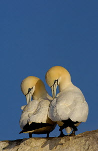Gannet (Morus bassanu) pair preening. Saltee Islands, Republic of Ireland, May.  -  Andrew Parkinson