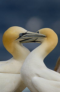 Gannet (Morus bassanus) pair preening one another as part of their elaborate courtship ritual. Saltee Islands, Republic of Ireland, May.  -  Andrew Parkinson