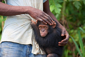 An orphaned juvenile Chimpanzee (Pan troglodytes) with its keeper on a rehabilitation island in the Lower Sanaga River, Cameroon, May 2010.  -  Felicity Lanchester