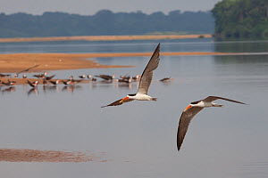 Two African skimmers (Rynchops flavirostris) flying over the Lower Sanaga River, with more birds on a sandbank in the background, Cameroon, May 2010.  -  Felicity Lanchester