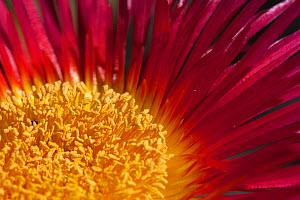 Close-up of an Ice plant (Cephalophyllum spongiosum) flower, Namaqualand, South Africa, August.  -  Felicity Lanchester