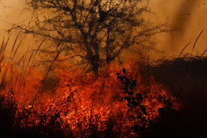 Grassland fire, with tree in background, South Luangwa National Park, Zambia.  -  Felicity Lanchester