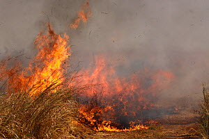 Grassland fire running along the edge of a track used as a firebreak, South Luangwa National park, Zambia.  -  Felicity Lanchester