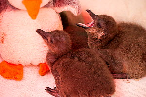 African penguin (Spheniscus demersus) chicks in brooder box with infra red heat lamp and penguin soft toy, part of Chick Bolstering Project, Southern African Foundation for the Conservation of Coastal... - Cheryl-Samantha  Owen