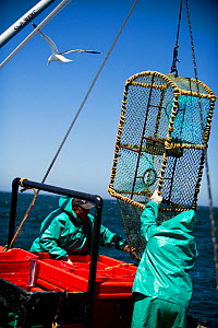 Crew of the James Archer (Oceana fisheries) pull up a lobster trap during West coast rock lobster (Jasus lalandii) fishing,  Saldanha Bay and St. Helena Bay, Western Cape, South Africa.  -  Cheryl-Samantha  Owen