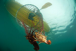 Recreational fishing in a sea kayak for West coast rock lobster (Jasus lalandii). Hoop trap with lobsters being pulled into the boat,  Kommetjie, Western Cape, South Africa - Cheryl-Samantha  Owen
