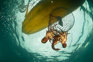 A hoop net with West coast rock lobster (Jasus lalandii) being pulled up in sea kayak for recreational fishing. Kommetjie, Western Cape, South Africa  -  Cheryl-Samantha  Owen