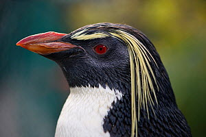Southern rockhopper penguin, (Eudyptes chrysocome). Southern African Foundation for the Conservation of Coastal Birds (SANCCOB), South Africa, Cape Town, South Africa. 'Rocky' is tame (captive) and is... - Cheryl-Samantha  Owen