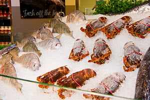 West coast rock lobster (Jasus lalandii) on ice at a seafood counter in the Food Lovers Supermarket, Noordhoek, Longbeach Mall, South Africa  -  Cheryl-Samantha  Owen