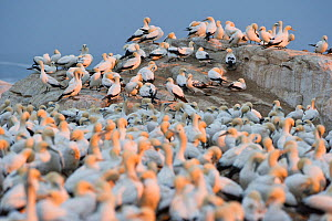 Cape gannet (Morus capensis) colony, Bird Island Nature Reserve, Lambert's Bay, West Coast, South Africa.  -  Cheryl-Samantha  Owen