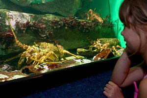 Girl looking at the West coast rock lobsters (Jasus lalandii) in the aquarium. Two Oceans Aquarium, V and A Waterfront, Cape Town, South Africa.   3rd Prize in the Man and Nature Category of the Melvi...  -  Cheryl-Samantha  Owen