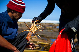 West coast rock lobsters (Jasus lalandii) caught by recreational fishers, Kommetjie, South Africa.  3rd Prize in the Man and Nature Category of the Melvita Nature Images Awards competition 2013 - Cheryl-Samantha  Owen