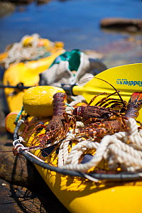 West coast rock lobster (Jasus lalandii). Sea kayakers return to shore with their catch of west coast rock lobsters after a morning recreational fishing. Kommetjie, Western Cape, South Africa - Cheryl-Samantha  Owen