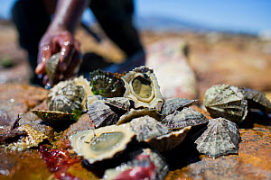 Man with limpets, removed for bait to catch West coast rock lobster (Jasus lalandii). Kommetjie, South Africa.  -  Cheryl-Samantha  Owen