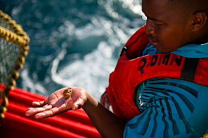 Fishing for West coast rock lobster (Jasus lalandii) aboard the James Archer (Oceana Fisheries). Fisherman inspects bycatch - a small crab, in Saldanha Bay and St. Helena Bay, Western Cape, South Afri...  -  Cheryl-Samantha  Owen