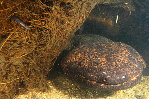 Japanese giant salamander (Andrias japonicus) with larvae which has just left the nest, Hino-river Tottori-ken Japan, March  -  Yukihiro Fukuda