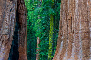Giant Sequoia (Sequoiadendron giganteum) in Sequoia National Park, California, USA.  -  Inaki  Relanzon
