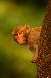 Rhesus macaque (Macaca mulatta) peering round the side of a tree, Bandhavgarh National Park, India, February. - Danny  Green