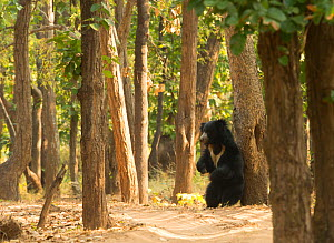 Adult Sloth Bear (Melursus ursinus) scratching its back against a tree, Bandhavgarh National Park, India, February.  -  Danny Green