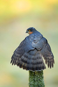Adult male Sparrowhawk (Accipiter nisus) stretching its wings, Dumfries, Scotland, UK, February. - Danny  Green