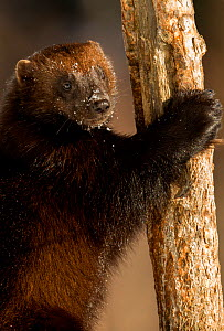Wolverine (Gulo gulo) climbing a tree with snow on its nose, Lieksa, Finland, March. - Danny  Green