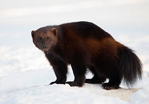Wolverine (Gulo gulo) in the snow, Lieksa, Finland, March. - Danny  Green