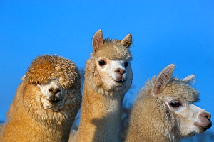 Alpaca Herd on Norfolk Farm, winter - Ernie  Janes