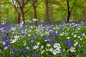 RF- Greater Stitchwort (Stellaria holostea) and Bluebells (Hyacinthoides non-scripta) in flower in woodland, May. (This image may be licensed either as rights managed or royalty free.)  -  Ernie  Janes