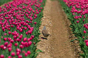 Grey Partridge (Perdix perdix) in tulip field, Norfolk  -  Ernie  Janes