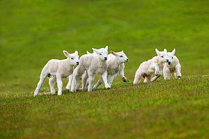 Lambs in meadow in spring, UK, April - Ernie Janes,Ernie  Janes