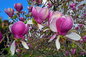 Magnolia 'Rustica rubra' in flower in garden, UK, May - Ernie  Janes