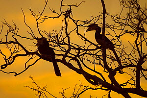 Malabar Pied Hornbills (Anthracoceros coronatus) silhouetted at sunset in tree. Sri Lanka. - Ernie  Janes