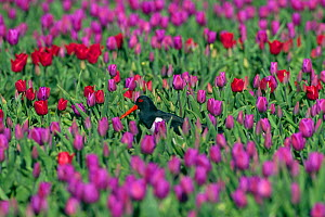 Oyster Catcher (Haematopus ostralegus) in tulip (Tulipa) field, North Norfolk, May 2013 - Ernie  Janes